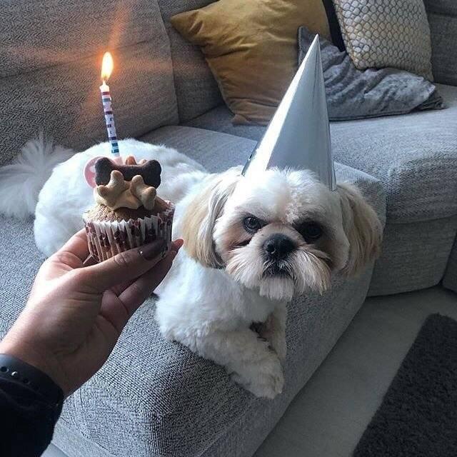 Shih Tzu with Dog Birthday Cupcake