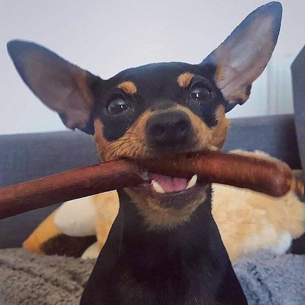 Dog With Venison Sausage