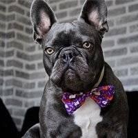 Cute French Bulldog with Dog Bowtie